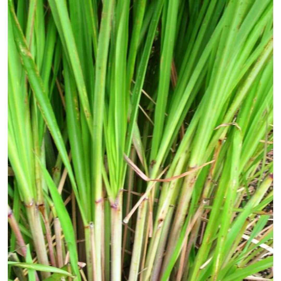 檸檬香茅 Lemongrass