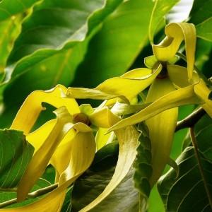 依蘭 Ylang Ylang Extra Organic